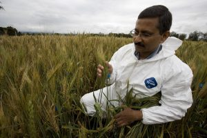 On Roman Robigalia Day, scientists size up battle against centuries-old wheat rust disease