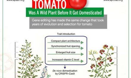 Domestication of tomato in nature