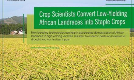 Crop scientists convert low-yielding African landraces into staple crops