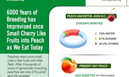 6000 years of breeding has improved once small cherry like fruits into peach as we eat today