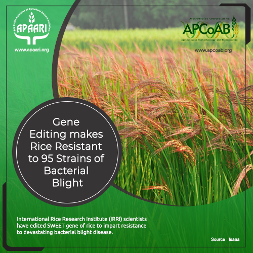Gene Editing makes Rice Resistant to 95 Strains of Bacterial Blight