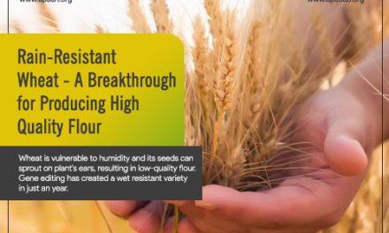 Rain-Resistant Wheat – A Breakthrough for Producing High Quality Flour