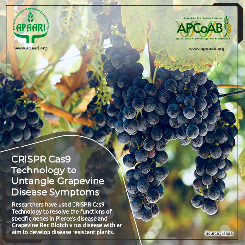 CRISPR Cas9 Technology to Untangle Grapevine Disease Symptoms