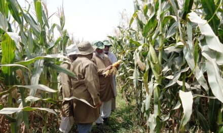 Pakistan releases first quality protein maize varieties