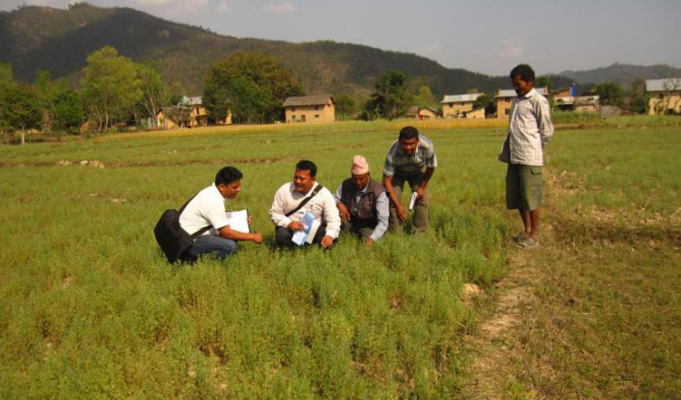 New micronutrient rich lentil varieties released in Nepal and India