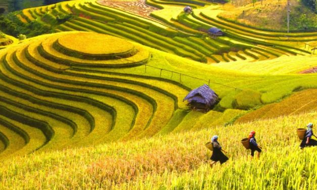 Upland rice production in Vietnam ©VAAS