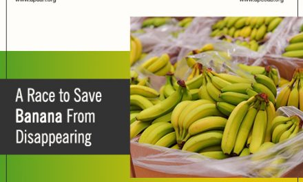 A Race to Save Banana From Disappearing