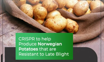 CRISPR to help Produce Norwegian Potatoes that are Resistant to Late Blight